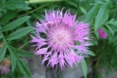 Centaurea dealbata (Persian Cornflower)