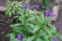 Centaurea montana (Perennial Cornflower)