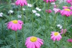 Chrysanthemum coccineum (Painted-Daisy)