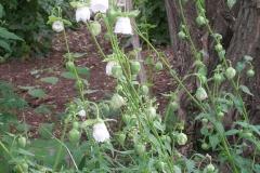 Codonopsis ovata (Bonnet Bellflower)