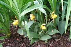 Cypripedium parviflorum or calceolus (Ladys-Slipper-Orchid)