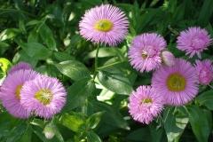 Erigeron x 'Pink Jewel' (Fleabane)