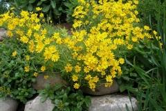 Eriophyllum lanatum (Wooly Sunflower)