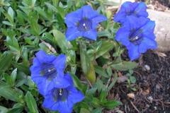 Gentiana acaulis (Spring Gentian)