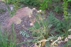 Geum triflorum (Three-flowered Avens)