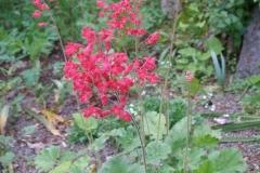 Heuchera sanguinea 'Splendens' (Coral Bells)