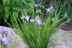 Iris setosa arctica